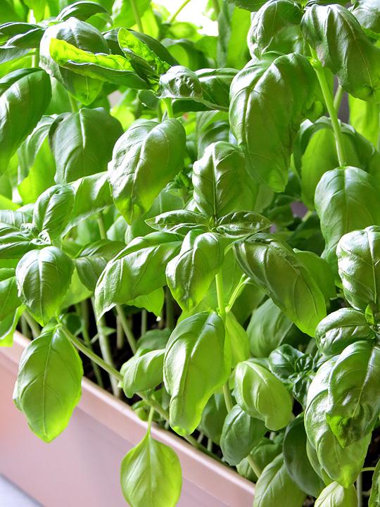 Basil Leaves | YummyAddiction.com